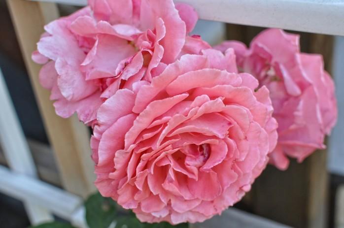 Roses 1